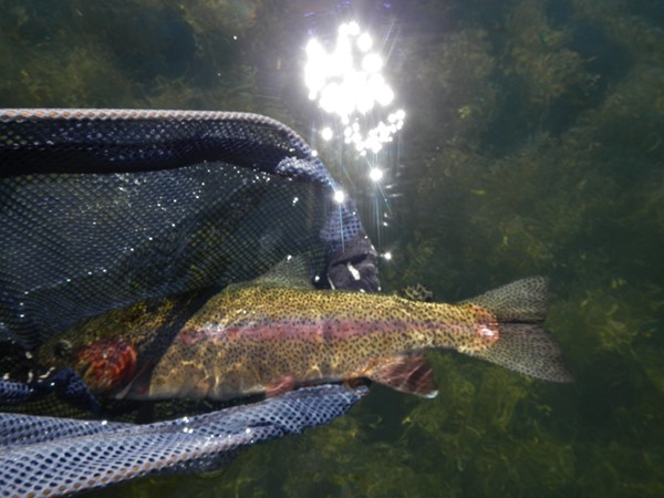 Big Fall River rainbow