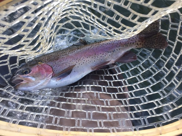 The beautiful fall colors of the rainbow trout
