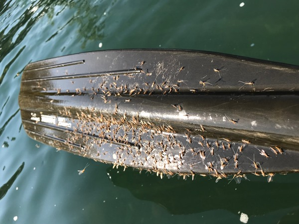 Hundreds of miniature mayflies on my oar blade