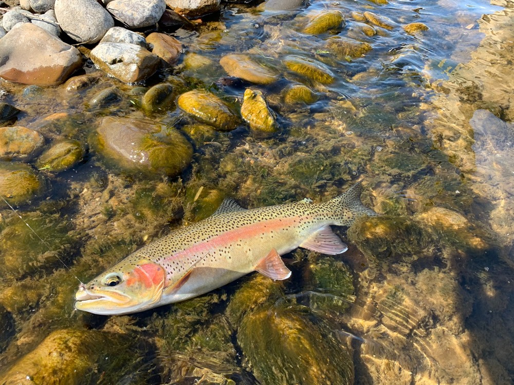 Big wild fish on a dry fly