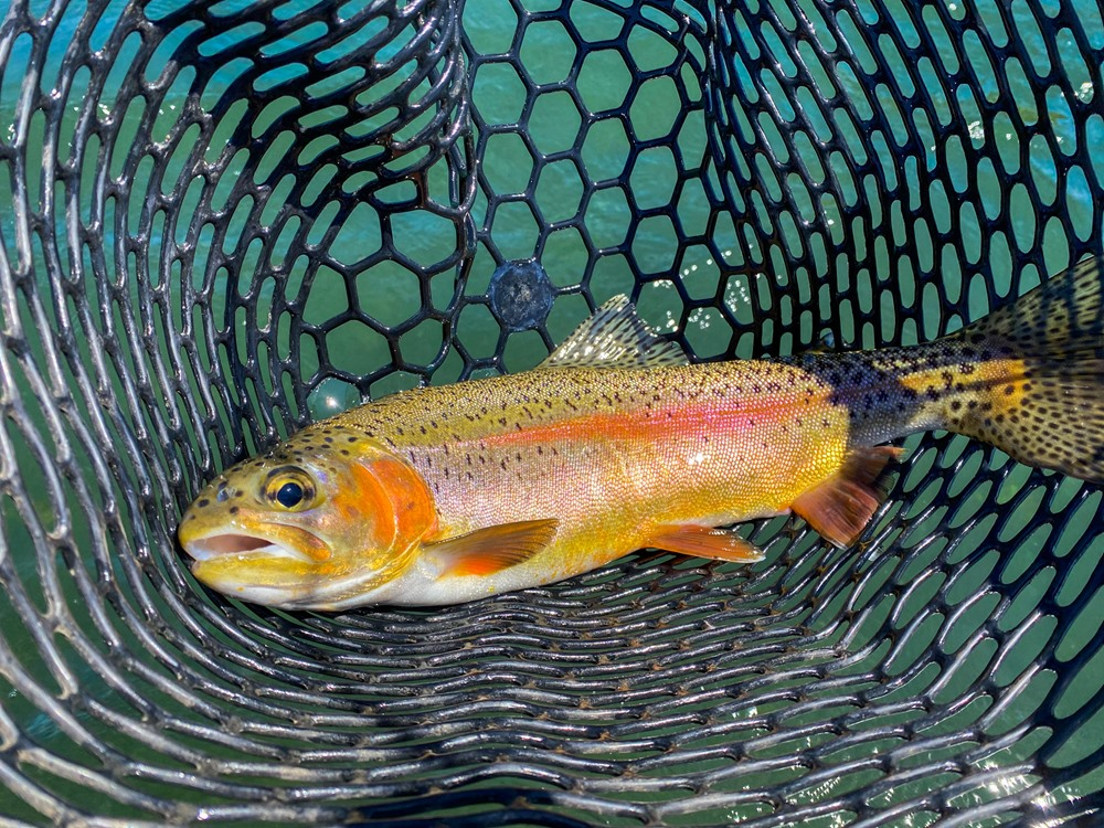 Look at the colors on this gorgeous trout.