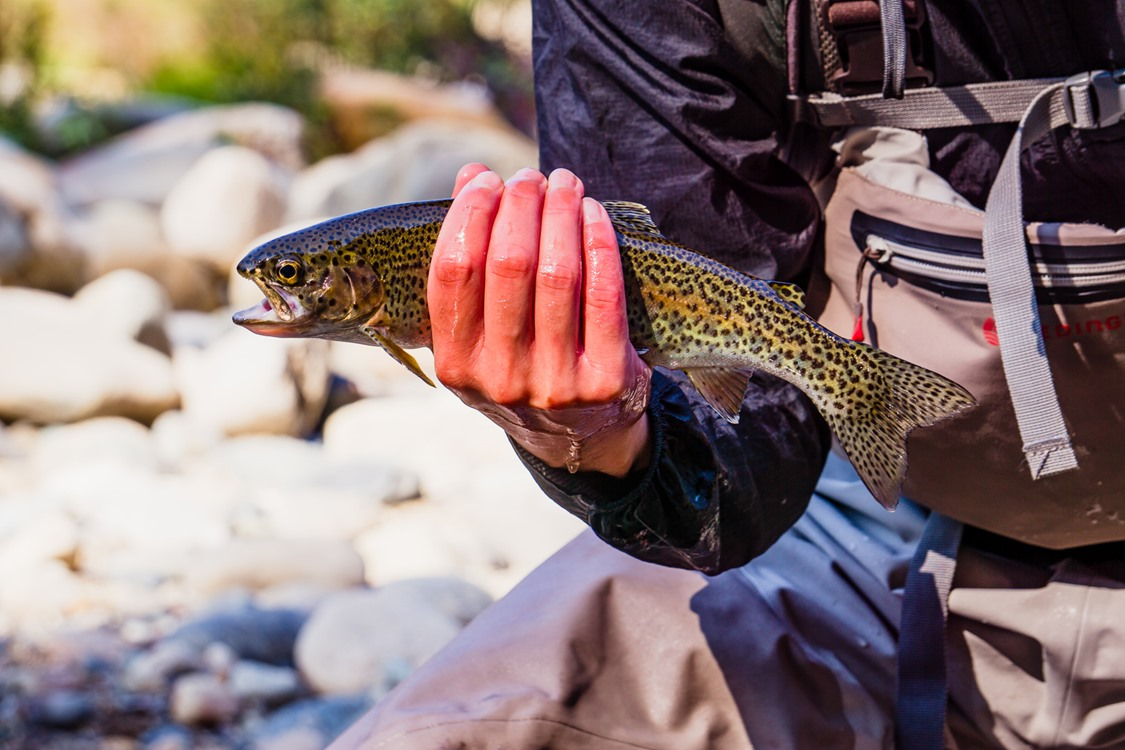 Upper Sac trout are gorgeous.