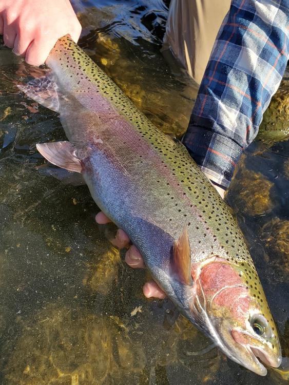 A big Feather River steelhead