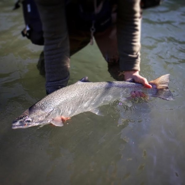 A perfect winter steelhead on a perfect winter day